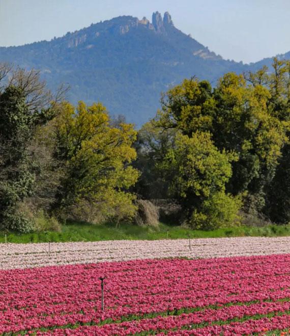 Champs de tulipes au Ventoux @ Hocquel